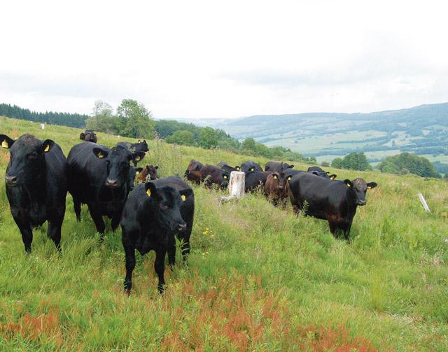 Angusrind passt zur rh n aus der region for Exterieur rind