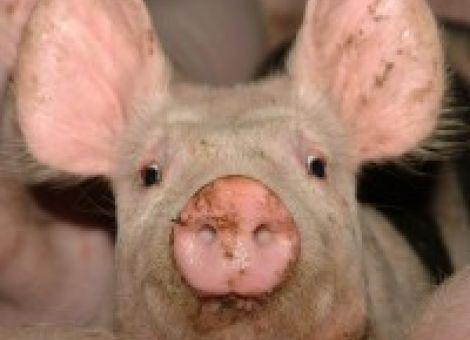 Mastschweinehaltung - Liegematten getestet