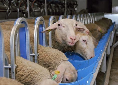 """""""Was fehlt, ist die Schafmilch"""""""
