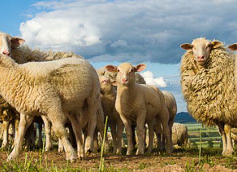 Gefährdete Nutztierrasse 2013: das Leineschaf