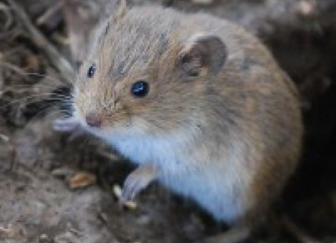Kontakt mit Mäusekot gefährlich – Hantavirus