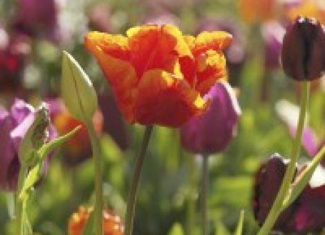 Einst kaum bezahlbar: die Königin der Frühlingsblumen