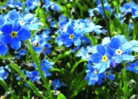 Das Vergissmeinnicht: ein Frühlingsbote und Symbol der Treue
