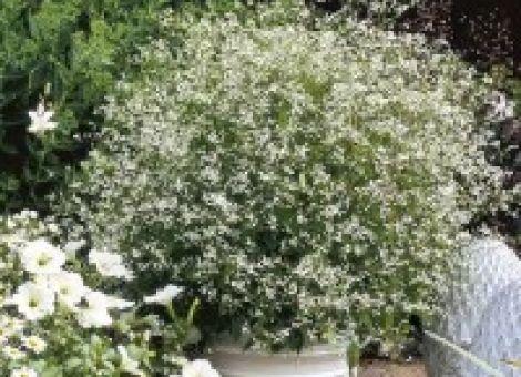 Zauberschnee für Garten und Balkon