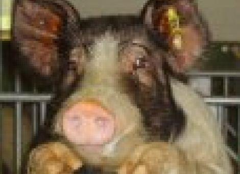 Schweineproduktion derzeit kostendeckend nicht möglich