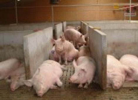 Mehr Platz für Sauen bei regelmäßiger Neugruppierung