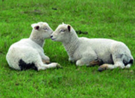 Schafe haben besondere Fähigkeiten