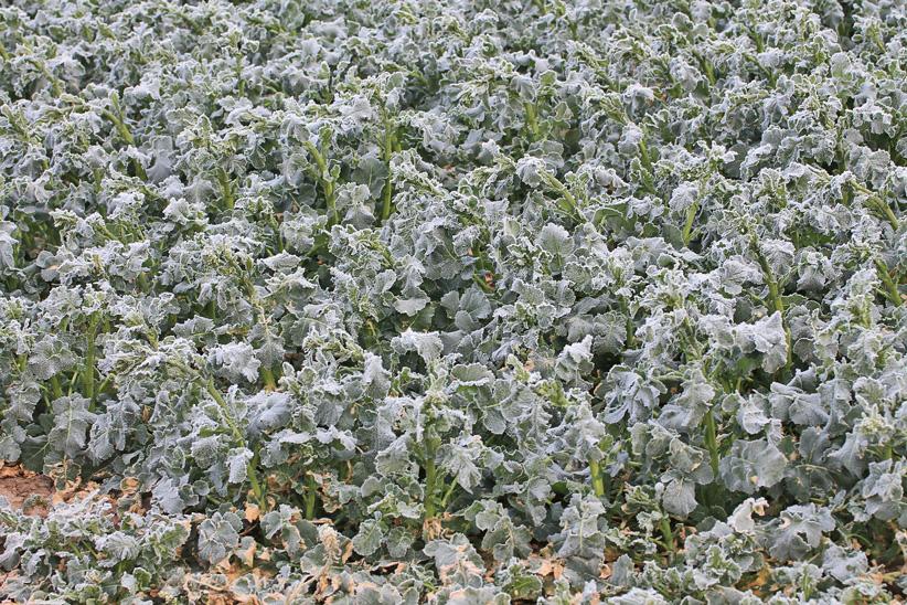 Lieblings Neue Rapssorten auf dem Prüfstand | Pflanzenbau &SF_25