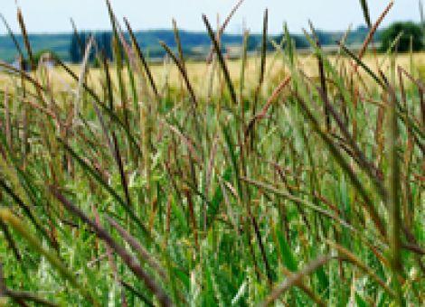 Unkräuter und -gräser enger Winterungsfruchtfolgen