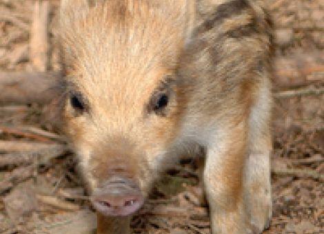 Schweinepest nun auch in der Pfalz