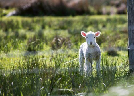 Herdenschutzprämie Plus bis 31. Juli beantragen