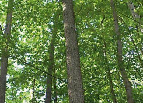 Trägt die Baumhasel zur Lösung des Waldumbaus bei?