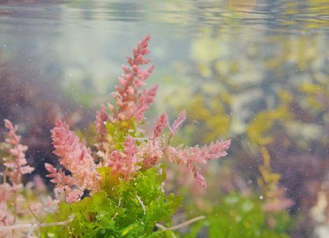 Futterzusatz aus Seegras senkt Methanausstoß kräftig
