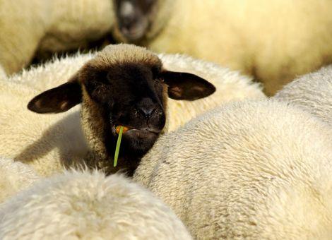 Bundesprogramm zum Schutz der Herde vor dem Wolf