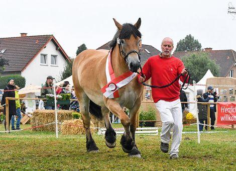 Elopa souveräne Siegerstute auf der Landes-Kaltblutschau