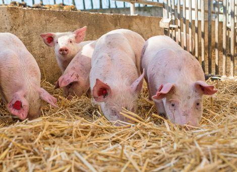 Mehr Tierwohl im Schweinestall wagen