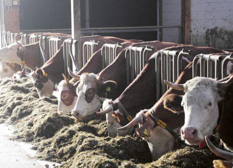 Horntragende Kühe im Laufstall – so geht es