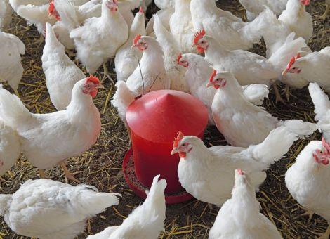Hühnern das Richtige zu picken anbieten