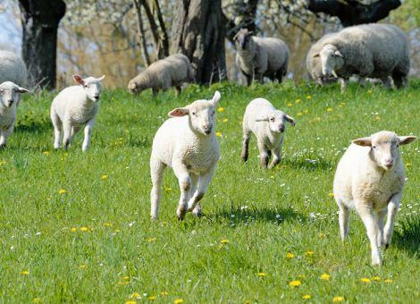 Homöopathie zur Geburt bei Schafen und Ziegen