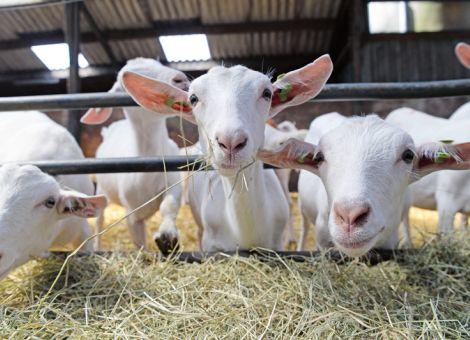 Künstliche Besamung auch bei Ziegen sinnvoll