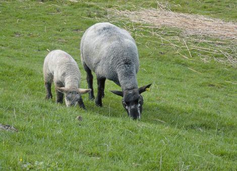 Magen-Darm-Parasiten bei Schafen bekämpfen
