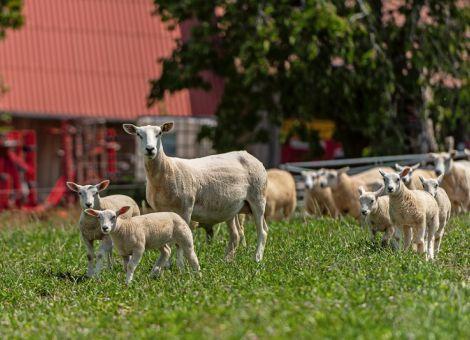 Schafe gegen Endoparasiten stärken