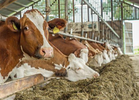 Warum manche Milchkühe robuster sind