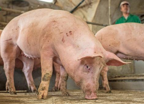 Ausgeglichener Schweinemarkt trotz Feiertag