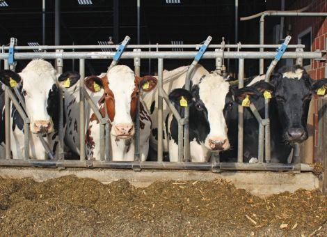 Wirkt Leinextrudat positiv auf die Gesundheit von Kühen?
