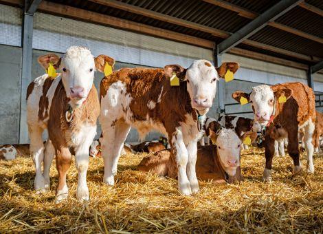 Auch Kälber von Änderung der Nutztierhaltungsverordnung betroffen