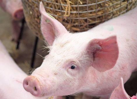 Wirtschaftlichkeit der dritten Phase der Initiative Tierwohl berechnet
