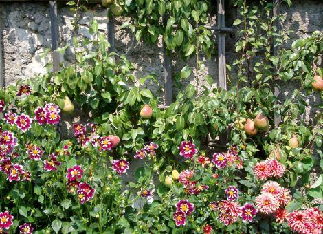 Die richtigen Birnensorten für große und kleine Gärten