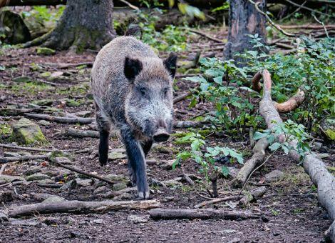 Zahl der mit ASP infizierten Wildschweine steigt weiter