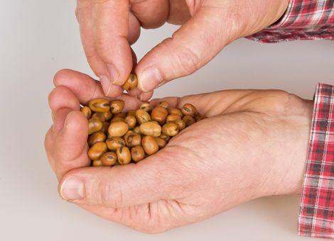 Leguminosen haben Potenzial in der Nutztierfütterung