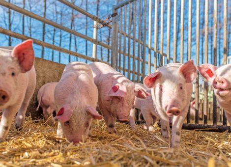 Markt für Bio-Schweine weiterhin klein