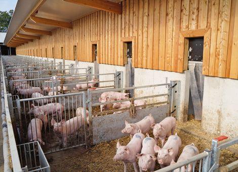 Tierwohl bei Schweineställen im Fokus