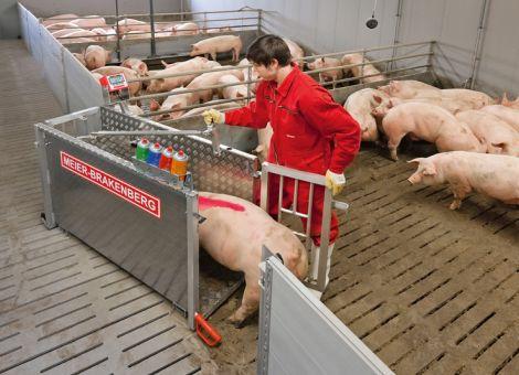 Mastschweine mühelos wiegen und sortieren