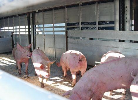 Schweinestau in Deutschland wird weniger