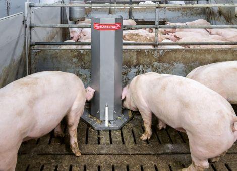 Schweinen etwas zu knabbern anbieten