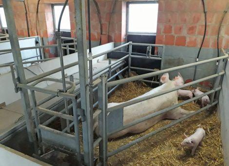 Bio-Schweinehaltung ist eine Nische