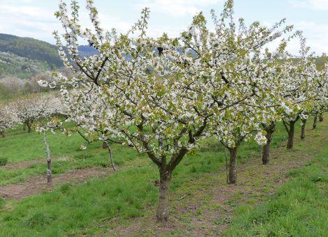 In den letzten Jahren deutlich früherer Beginn der Kirschblüte
