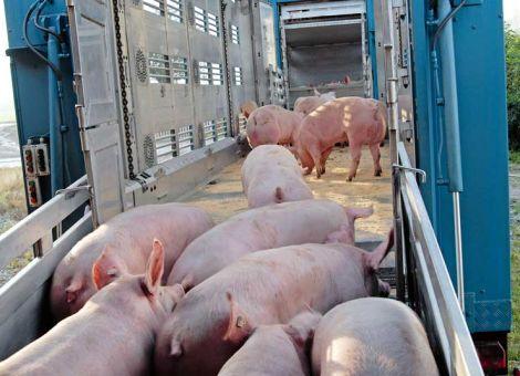 Knappes Schweineangebot lässt VEZG-Preis deutlich steigen