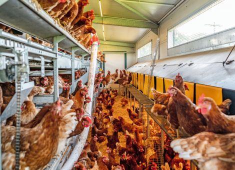 Strategien gegen die Rote Vogelmilbe in Legehennenbeständen