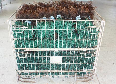Heißwasserbehandlung von bewurzeltem Rebenpflanzgut