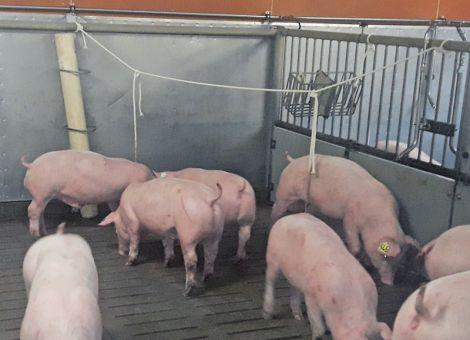 Beschäftigung für das Schwein