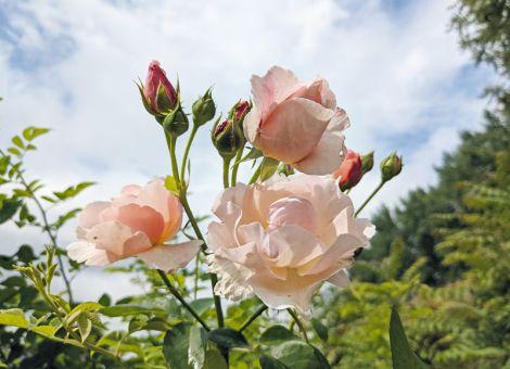 Köstliches aus Rosenblüten