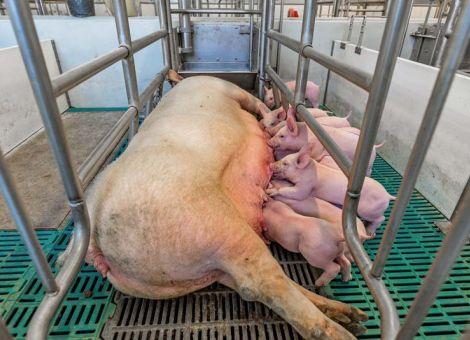 Vitalität und Robustheit bei Schweinen im Fokus