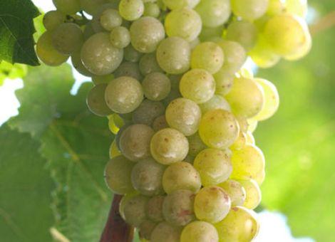 Rebsortensynonyme bei der Weinvermarktung?