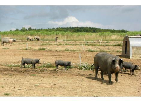 Freiland-Schweine vom Betrieb Busch